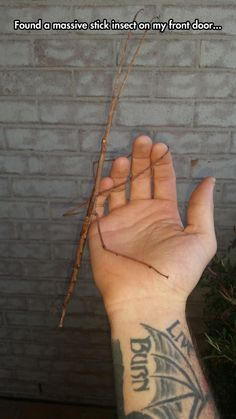 More Like A Branch Insect