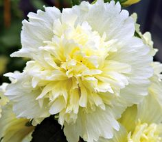 NEW! Alcea rosea Spring Celebrities™ Lemon - White Flower Farm