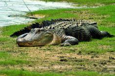 HHI Alligator