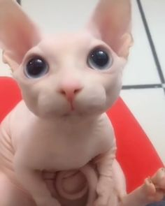 Say Ahh because I know you will - Cutest Baby Animals Cute Baby Cats, Cute Little Animals, Cute Funny Animals, Kittens Cutest, Cats And Kittens, Funny Cats, Funny Ferrets, Cute Animals Images, Baby Animals Super Cute