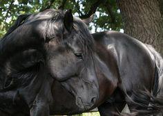 Nonius Stallion  | Gallery > Zsuzsanna Wagenhoffer > Photos > HORSES > Nonius