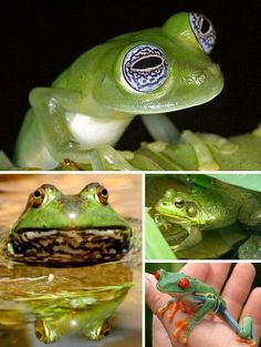 Blue eye frog