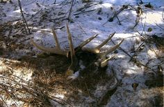 "Antler shed hunting ~ Minnesota in February ""as they lay"""