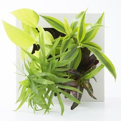 [Store] limited foliage plant 16 × can be hung on the wall A Foliage Plants, Muji, Leaves, Canning, Fingers, Wall, Green, Store, Tent
