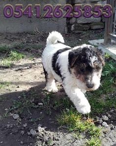 for sale fox terrier