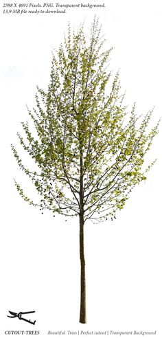 2398 X 4691 Pixels.  PNG with transparent background. 13,9 MB file ready to download.  Small plane tree Platanus occidentalis