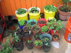 My herbs and veggies
