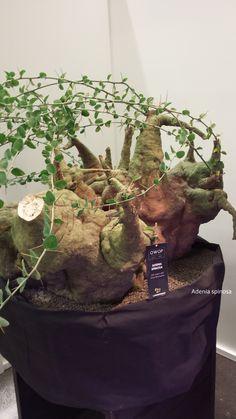 Zeldzaam maar Gaaf!! Adenia spinosa uit Botswana 125 jaar oud!