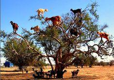 Tree climbing goats
