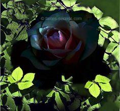 Hocus Pocus Rose Bush