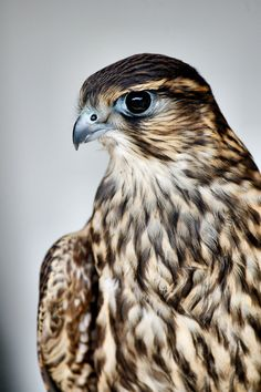 "Swainson's Hawk. ""Power, magic, messenger. Hawk is the messenger, the protector and the visionaries of the air. It holds the key to higher levels of consciousness. This totem awakens vision and inspires a creative life purpose."""