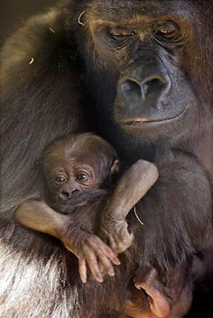 Western Lowland gorilla mother holds her new baby !!