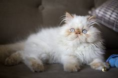 Ludovico #redpoint Himalayan Cat