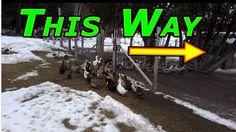 Ducks Back In #124 Ducks & Winter 2016-17
