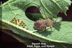 BEST Article on TONS of ways to kill Squash Bugs to protect squash, melons, cucumbers, and zuchinni Garden Bugs, Garden Yard Ideas, Garden Pests, Garden Insects, Backyard Ideas, Farm Gardens, Outdoor Gardens, Organic Gardening, Gardening Tips