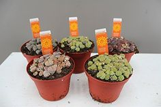 stunning house plants delivered. Living Stone Mix  Large Potted Succulent Stunning gift for any occasion Very Easy Care Mixed lithops Plant Tea Time plant in a quirky tea tin time Plants and