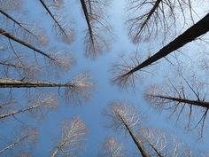 Photo: Look up at the sky through the trees