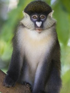 red tail monkey - Google Search