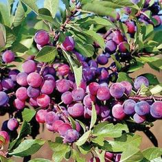 Homegrown Plum Seeds, Dunbars Plum Tree: Easy to maintain as a single trunk tree. Garden Seeds, Planting Seeds, Plum Seed, Lighted Branches, Two Trees, Fruit Seeds, Tree Seeds, Low Maintenance Garden, Love Garden