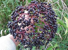 elderberry bushes. Delicious fruit BUT must be cooked! Do NOT eat raw berries!