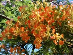 Flamboyant amarelo - Flor