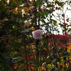 The last rose of autumn.