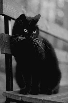 Beautiful black kitty cat