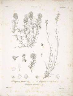 60425 Menonvillea cuneata (Gillies & Hook.) Rollins [as Hexaptera jussiaei Barnéoud]  / Gay, C., Historia fysica y politica de Chile, Botanica [Flora Chilena], Atlas, vol. 1: t. 5 (1854) [A. Riocreux]