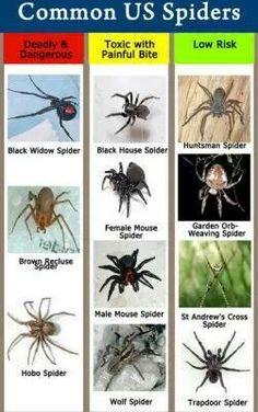 Common U.S. spiders