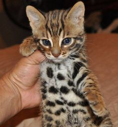 f1 bengal kitten 5 weeks old