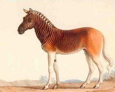 Quagga, an extinct horse