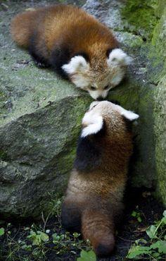 Baby red pandas