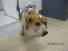 APRIL - ID#A733186  My name is APRIL.  I am a female, tricolor Beagle.  The shelter staff think I am about 8 years old.  I have been at the shelter since Aug 13, 2013.