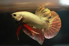 My dream Betta Koi Betta, Betta Fish Care, Halfmoon Betta, Tropical Fish Aquarium, Fish Aquariums, Fish For Sale, Siamese Fighting Fish, Pet Store, Goldfish