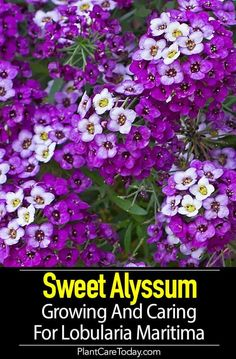 flower garden care Sweet Alyssum the quot; a classic garden flower native to the Mediterranean, unsurpassed for edging under a variety of situations. Alyssum Flowers, Tall Flowers, Growing Flowers, Planting Flowers, Potted Flowers, Flower Gardening, Indoor Flowers, Winter Flowers, Flowering Plants