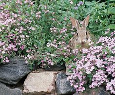 Top Rabbit-Resistant Plants - they have eaten up some perennials this winter! Down to the ground.