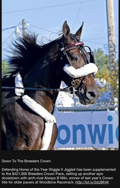 Harness Racing, Horse Face, Majestic Horse, Horses, Horse Horse, Pretty Face, Animals, Faces, Trotter