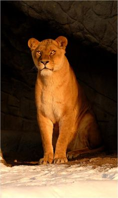 lioness!