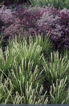 Sesleria autumnalis - Greenlee and Associates evergreen clump with taller… Plants, Grass, Plant Combinations, Low Water Gardening, Border Plants, Prairie Garden, Xeriscape, Perennials, Ornamental Grasses