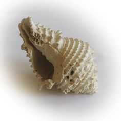 Vasum (Ancient Sea Snail Fossil)