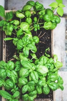 Everyone can enjoy the idea of having fresh herbs at home. What can be more fun and convenient than having herbs indoors to enjoy as well.The best thing is that growing herbs indoors is something. Hydroponic Gardening, Hydroponics, Gardening Tips, Starting A Garden, Seed Starting, Easy Plants To Grow, Mosquitos, Aromatic Herbs, Herbs Indoors