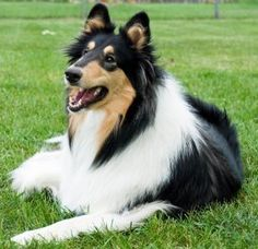 Training Rough and Smooth Collies - The Sensible Way