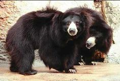 Sloth Bear, Historically, humans have drastically reduced their habitat and diminished their population by hunting them for food and products such as their bacula and claws. Bear Pictures, Animal Pictures, Sloth Bear, Black Bear, Lions, Habitats, Bears, Rudyard Kipling, Shaggy
