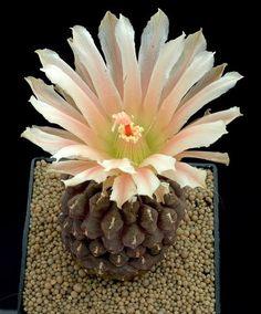 Chileorebutia Fulva