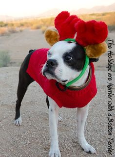 Holidays are Merrier with a Boston Terrier