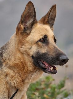 Giselle von Groditz is a beautiful 5 year old German Shepherd. (Giselle came to us with a fractured leg thats healing very well)