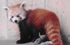 Xiao the Red Panda by Paula~Koala, via Flickr