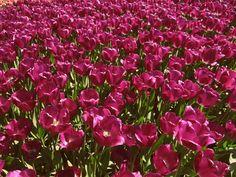 tulips tulipany flowers garden kwiaty