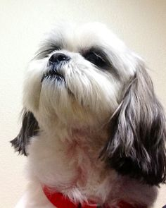 Shih tzus to love