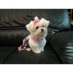 Maltese @ http://www.dogchannel.com/dog-community/maltese-dogs-photogallery-detail.aspx?id=231843
